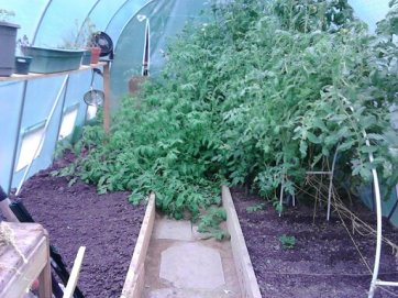 Tomatoes out of control!