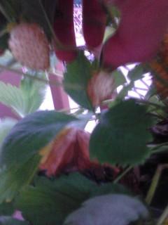 Wild Yellow Strawberries