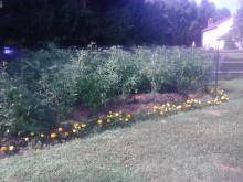 Tomatoes looking healthy!