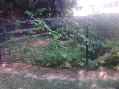 Cucumber flowers