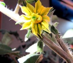 tomato flower 2