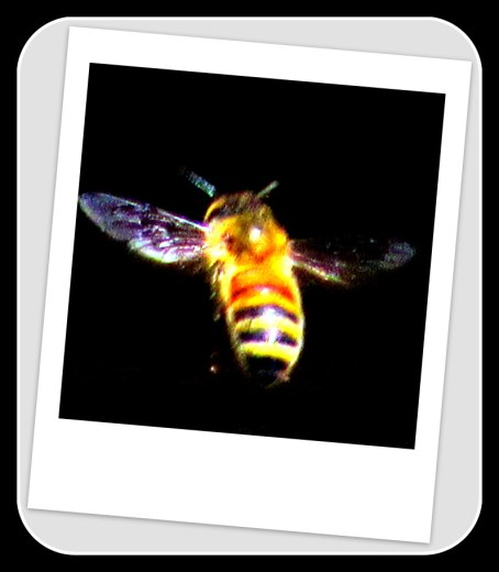 polaroid bee