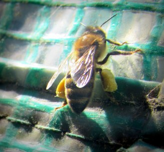 pollen saddlebags