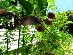 Fruit Tree 1
