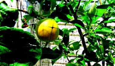 fruit tree 2