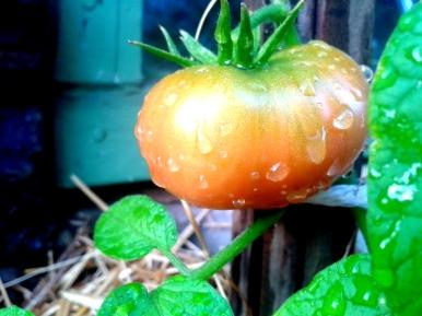 Heirloom Brandywine Tomato