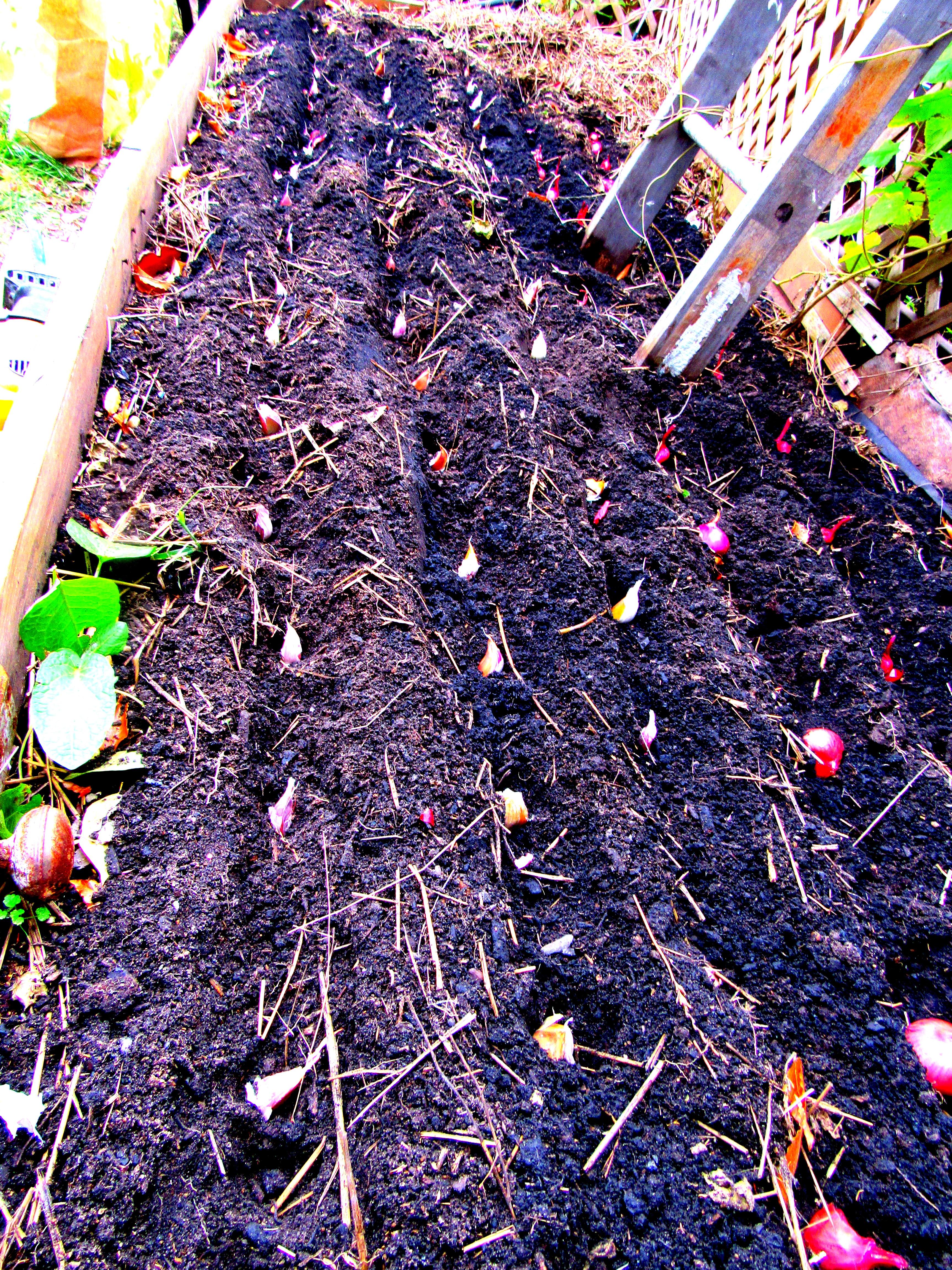 fall planting garlic onions shallots greenhorn gardens. Black Bedroom Furniture Sets. Home Design Ideas