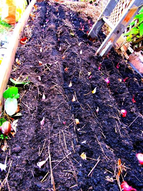 garlic.shallot plant